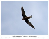 White-throated Needletail (Hirundapus caudacutus) by Ian