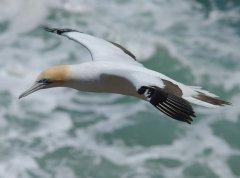 Australasian Gannet (Morus serrator) by W Kwong