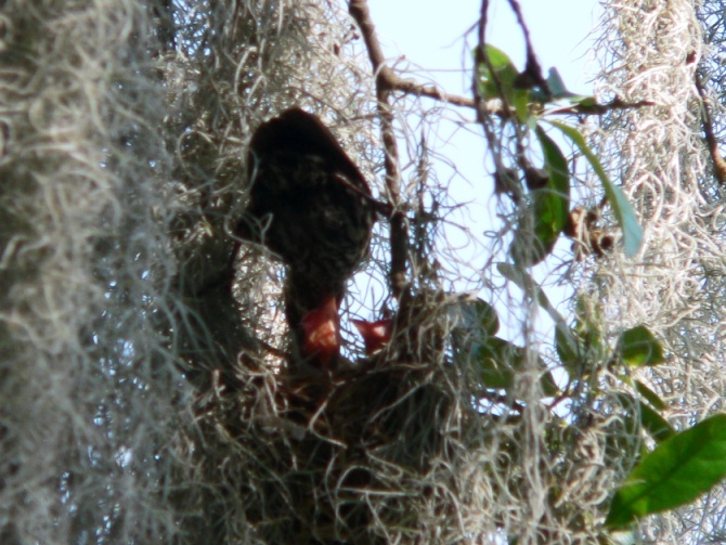 Redwing Blackbird feeding young at Lake Hollingsworth