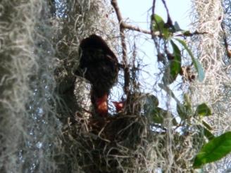 Redwing Blackbird feeding young at Lake Hollingsworth