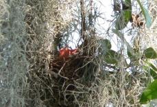 Redwing Blackbird young at Lake Hollingsworth
