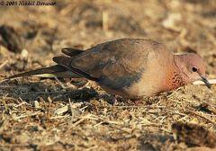 Laughing Dove (Stigmatopelia senegalensis) by Nikhil