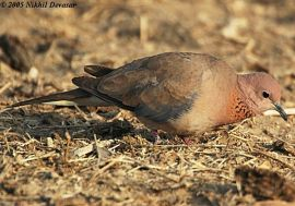Laughing Dove (Stigmatopelia senegalensis) by Nikhil