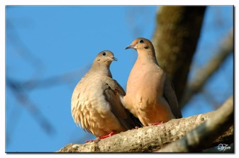 Mourning Dove (Zenaida macroura) by Quy Tran