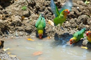Lilian's Lovebird (Agapornis lilianae) by Africaddict