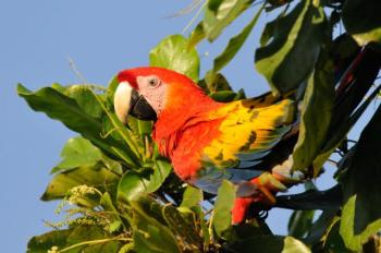 Scarlet Macaw (Ara macao) Reinier Munguia