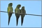 Green Parakeet (Aratinga holochlora) by Daves BirdingPix