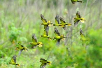 Orange-fronted Parakeet (Aratinga canicularis) Reinier Munguia