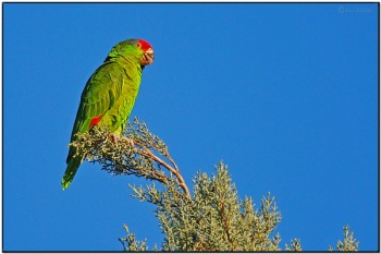 Red-crowned Amazon (Amazona viridigenalis) by Daves BirdingPix