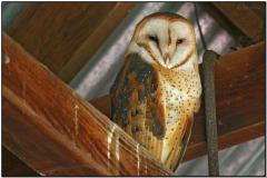 Western Barn Owl (Tyto alba) by Daves BirdingPix