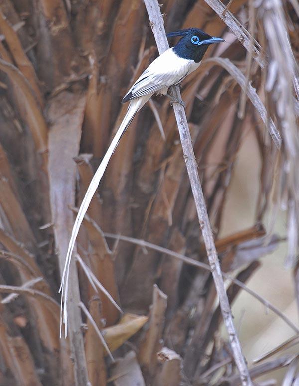 Indian Paradise Flycatcher (Terpsiphone paradisi) by Nikhil Devasar