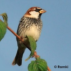 Spanish Sparrow (Passer hispaniolensis) by Nikhil Devasar