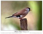 Masked Finch (Poephila personata) by Ian
