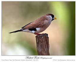 Ian's Bird of the Moment – MaskedFinch