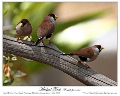 Masked Finch (Poephila personata)2 by Ian