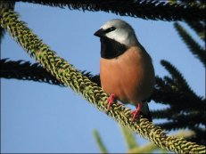 Black-throated Finch (Poephila cincta) by Ian