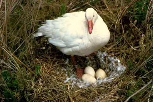 Snow Goose (Chen caerulescens) at nest©USFWS