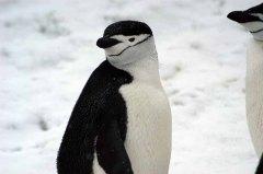 Chinstrap Penguin (Pygoscelis antarcticus) by Bob-Nan