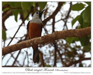 Black-winged Monarch (Monarcha frater) by Ian