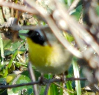 Common Yellowthroat at Circle B by Lee