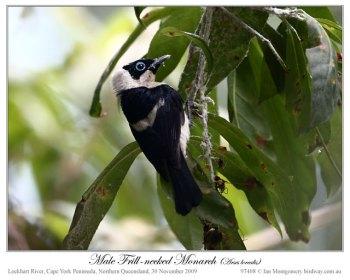 Frill-necked Monarch (Arses lorealis) by Ian