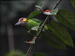 Gold-whiskered Barbet (Psilopogon chrysopogon) by Ian