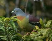 Green Pigeon Dove