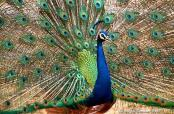 Indian Peafowl (Pavo cristatus) by Nikhil Devasar