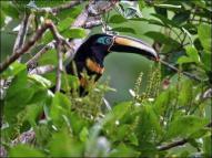 Many-banded Aracari (Pteroglossus pluricinctus) by Ian