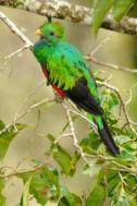 Resplendent Quetzal (Pharomachrus mocinno) Reinier Munguia