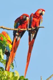 Scarlet Macaw (Ara macao) by Reinier Munguia
