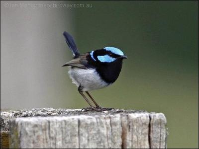 Superb Fairy-wren (Malurus cyaneus) by Ian