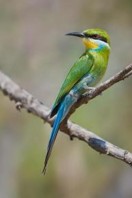 Swallowtailed Bee-eater by Africaddict