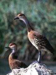 West Indian Whistling Duck (Dendrocygna arborea) ©WIWD