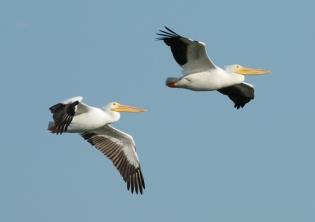 White Pelicans in Flight - Circle B Bar by Dan