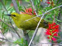 Yellow Honeyeater (Lichenostomus flavus) by Ian