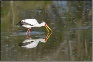 Yellow-billed Stork (Mycteria ibis) by Daves BirdingPix