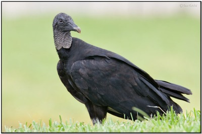 Black Vulture (Coragyps atratus) by Daves BirdingPix