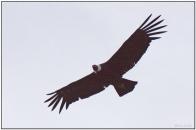 Andean Condor (Vultur gryphus) by Daves BirdingPix