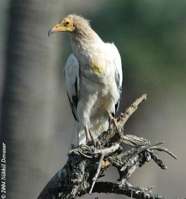 Egyptian Vulture (Neophron percnopterus) by Nikhil