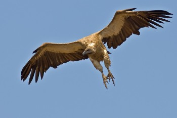 White-backed Vulture (Gyps africanus) by Africaddict
