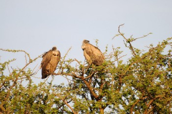 White-backed Vulture (Gyps africanus) by Bob-Nan
