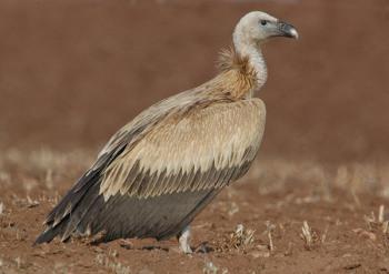Griffon Vulture (Gyps fulvus) by Nikhil Devasar