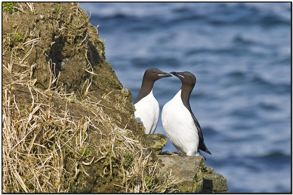 Thick-billed Murre (Uria lomvia) by Daves BirdingPix