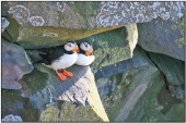 Horned Puffin (Fratercula corniculata) by Daves BirdingPix
