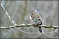 Emerald-spotted Wood Dove (Turtur chalcospilos) by Daves BirdingPix