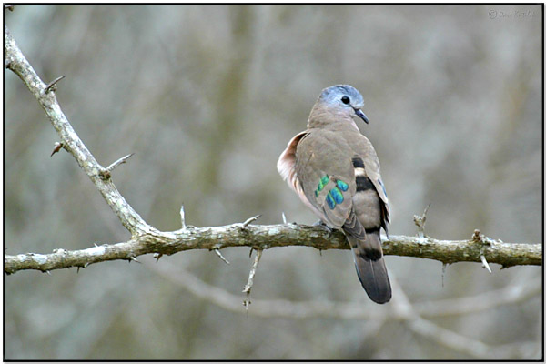 Emerald-spotted Wood Dove (Turtur chalcospilos) by Daves BirdingPix