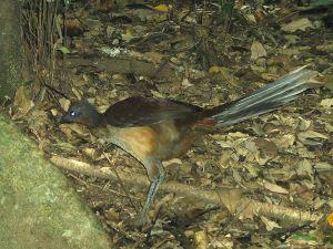 Albert's Lyrebird (Menura alberti) ©Peter Ellis