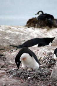 Adelie Penguin (Pygoscelis adeliae) by Bob-Nan