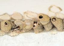 American Cliff Swallow (Petrochelidon pyrrhonota) Neal Addy Gallery
